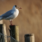 mouette-rieuse-2